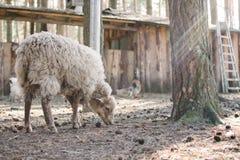 Schafe, die in einen Bauernhof bedeckt durch Sonnenstrahlen wandern KRETINGA, LITAUEN: Sept., 2016 Stockfotos