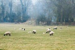 Schafe, die in einer Sommerzeitwiese weiden lassen Lizenzfreie Stockfotos