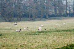 Schafe, die in einer Sommerzeitwiese weiden lassen Stockfotos