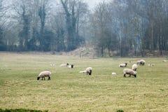 Schafe, die in einer Sommerzeitwiese weiden lassen Lizenzfreies Stockfoto