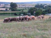 Schafe, die in einer Wiese weiden lassen Stockfoto