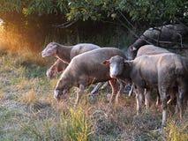 Schafe, die in einer Wiese weiden lassen Stockbilder