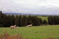 Schafe, die entlang den Straßen weiden lassen Lizenzfreie Stockfotos