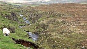 Schafe, die entlang einem Abzugsgraben in den schottischen Hochländern weiden lassen stock footage