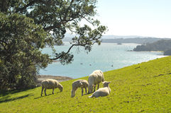 Schafe, die Frühlingsgras weiden lassen Stockfoto
