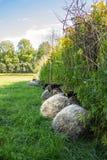 Schafe, die gegen Zaun stillstehen Lizenzfreies Stockfoto