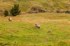 Schafe, die Gras in Anden-Bergen weiden lassen Stockfoto