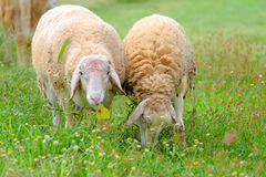 Schafe, die Gras auf dem Bauernhof essen Stockbilder