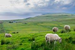 Schafe, die Gras auf dem enormen Gebiet essen Lizenzfreies Stockfoto