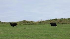 Schafe, die Gras auf einer grünen Weide essen landwirtschaft stock video
