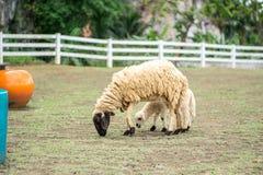 Schafe, die Gras auf Wiese essen lizenzfreie stockfotografie