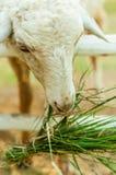 Schafe, die Gras in der Hürde essen Stockfotografie