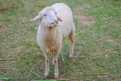 Schafe, die Gras in einem Bauernhof essen Lizenzfreie Stockbilder