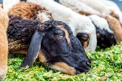 Schafe, die Gras essen Lizenzfreie Stockbilder