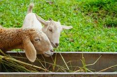 Schafe, die Gras essen Lizenzfreie Stockfotos