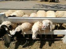 Schafe, die Gras essen stockbild