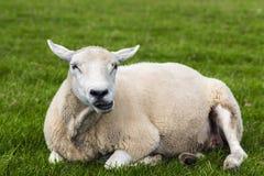 Schafe, die Gras kauen und sich convenienly auf einer grünen Wiese, Dingle, Irland entspannen lizenzfreie stockfotografie