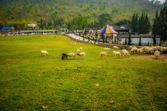 Schafe, die Grasbauernhof essen stockbilder