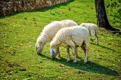 Schafe, die Grasbauernhof essen stockfotos
