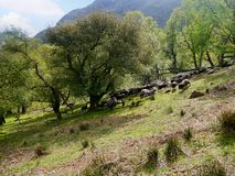 Schafe, die herauf Hügel in Herden gelebt werden Stockfoto