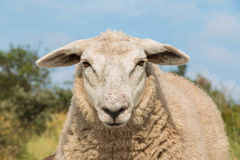 Schafe, die herauf nahen Ansichtkopf anstarren Lizenzfreie Stockfotografie