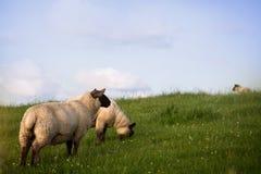Schafe, die heraus auf einem grasartigen Gebiet weiden lassen Lizenzfreie Stockfotografie