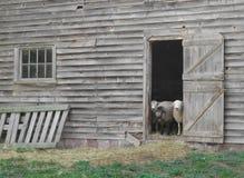 Schafe, die heraus eine alte Stalltür schauen. Lizenzfreies Stockfoto