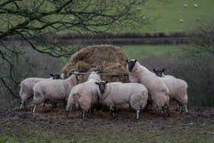 Schafe, die Heu auf einem Waliser-Landwirtgebiet essen lizenzfreie stockfotografie