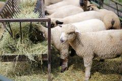 Schafe, die Heu essen Stockbilder
