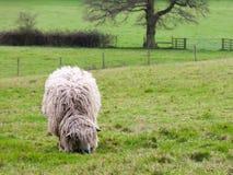 Schafe, die im Frühjahr auf Gras kauen stockfotografie