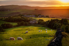 Schafe, die im Höchstbezirk England weiden lassen Lizenzfreie Stockfotos