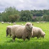 Schafe, die im medow nahe bei Salisbury-Kathedrale weiden lassen stockbild