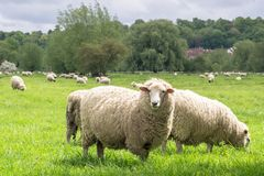 Schafe, die im medow weiden lassen stockbilder