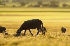 Schafe, die im Morgen-Licht weiden lassen Stockfotos