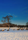 Schafe, die im Schnee weiden lassen Stockbilder