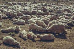 Schafe, die im sheepfold stillstehen Stockbilder