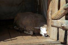 Schafe, die im Stall auf einem Bauernhof schlafen und in der Sonne sich aalen Stockfotos