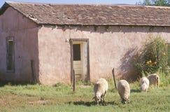 Schafe, die im Yard weiden lassen Lizenzfreie Stockfotografie