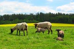 Schafe, die junge Lämmer stillen Stockbild