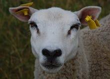 Schafe, die Kamera betrachten Lizenzfreie Stockbilder