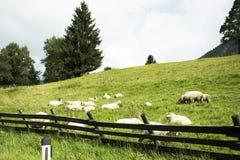 Schafe, die Lebensmittel auf Rasenfläche im Ackerland an der Landschaft essen Lizenzfreies Stockbild
