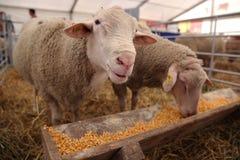 Schafe, die Maiskörner essen Stockbilder