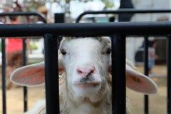 Schafe, die mich betrachten Stockfoto