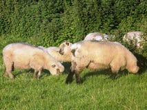 Schafe, die nahe bei Hecke weiden lassen Lizenzfreies Stockbild