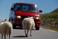 Schafe, die norwegische Straße kreuzen Stockbild