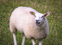 Schafe, die in Richtung zu anderen Schafen auf einem Hügel nahe einer Natur rese blöken lizenzfreie stockfotos