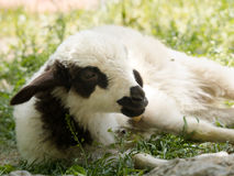 Schafe, die sich auf gewachsen hinlegen Stockfotografie