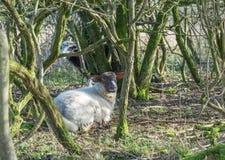 Schafe, die sich im Waldland auf den Sussex-Südabstiegen hinlegen Stockbild