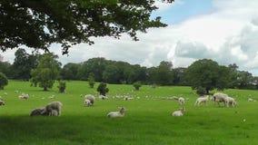 Schafe, die unter Baum schützen stock video footage