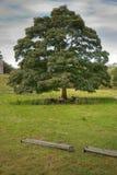 Schafe, die unter einem einsamen Baum schützen Stockfotografie